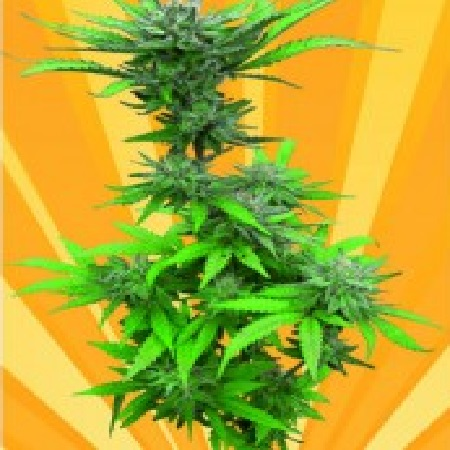Freedom of Seeds Crystal Dwarf Auto Regular