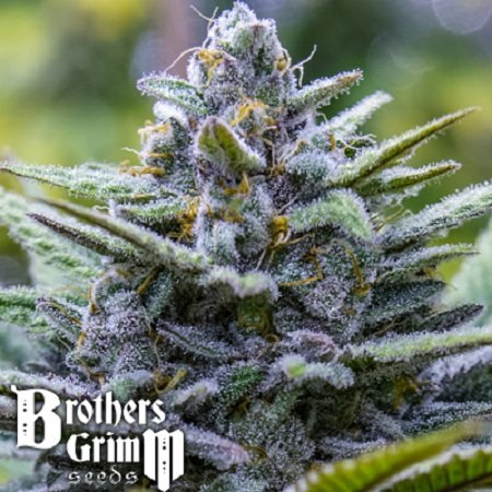 Brothers Grimm Seeds Crystal Blue Regular