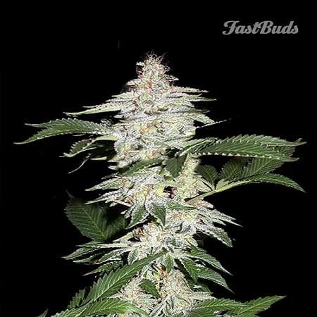 FastBuds Seeds Cristal METH Auto Feminized (PICK N MIX)