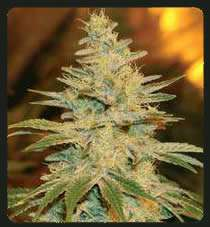 De Sjamaan Seeds White Widow Regular