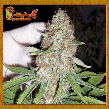 Dr Krippling Seeds Blue Kripple Feminized (PICK N MIX)