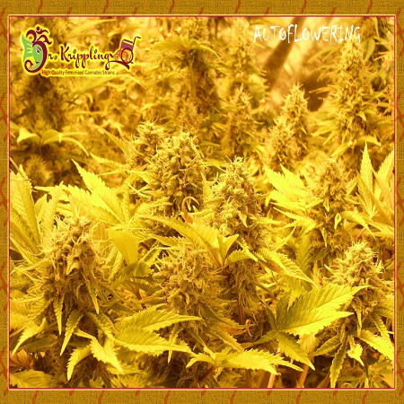 Dr Krippling Seeds Choc-Matic Auto Feminised (PICK N MIX)