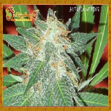 Dr Krippling Seeds Jumping Black Dash Auto Feminised (PICK N MIX)