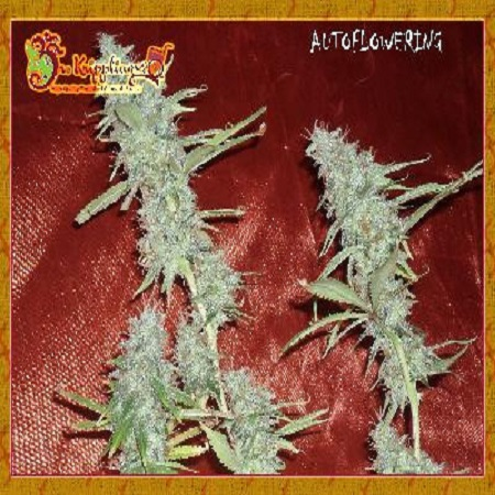 Dr Krippling Seeds Krippleberry Auto Feminized