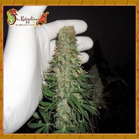 Dr Krippling Seeds Mango Chutney Feminised