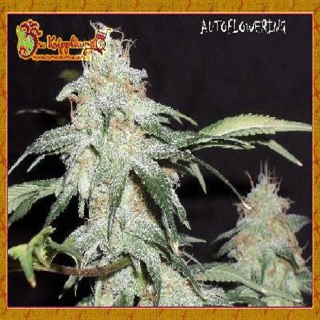 Dr Krippling Seeds Pickled Diesel Auto Feminized (PICK N MIX)