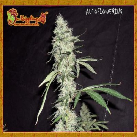 Dr Krippling Seeds Sonic Bloom Auto Feminized