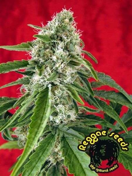 Reggae Seeds Dub Regular