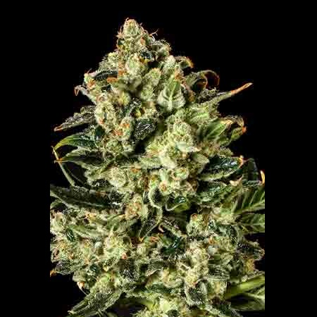 SuperCBDx Seeds Emerald Jack x SCBDx Feminized