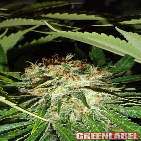 Green Label Seeds Everest Bud Feminised