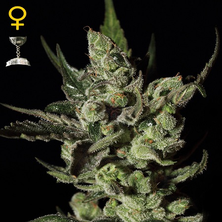 Green House Seeds Exodus Cheese Feminized