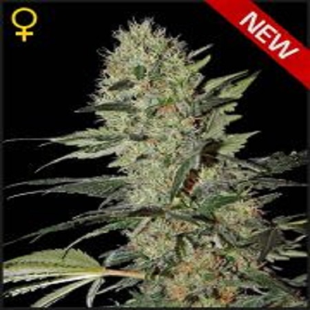 Green House Seeds Exodus Cheese Auto Feminized