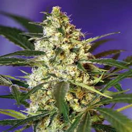 Sweet Seeds Fast Bud Auto Feminized