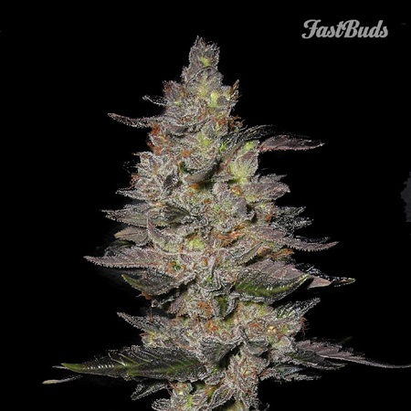 FastBuds Seeds Fastberry Auto Feminized (PICK N MIX)