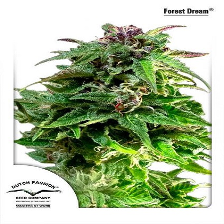 Dutch Passion Seeds Forest Dream Feminized
