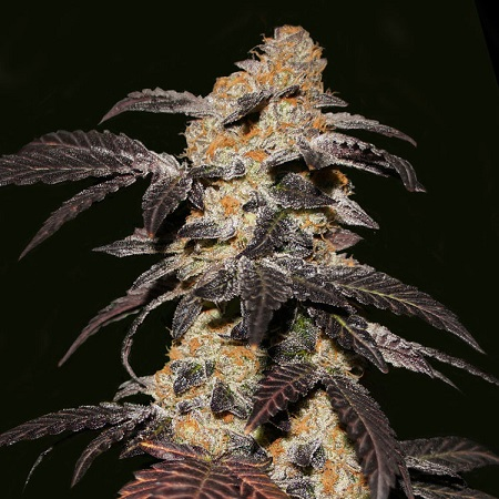 T.H.Seeds French Cookies Feminized