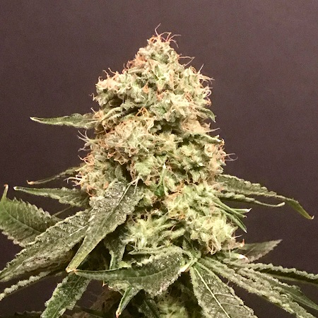Pot Valley Seeds Frosty Purps Feminized
