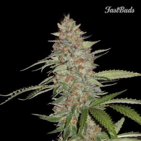 FastBuds Seeds G14 Auto Feminised (PICK N MIX)
