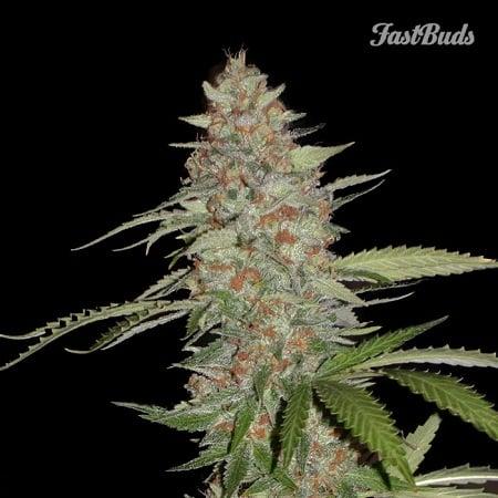 FastBuds Seeds G14 Auto Feminised (PICK N MIX)