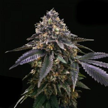 T.H. Seeds Gelato 33 x French Cookies a.k.a. French Macaron Feminized