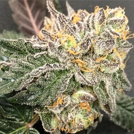 Purple Caper Seeds Gelato BX Regular