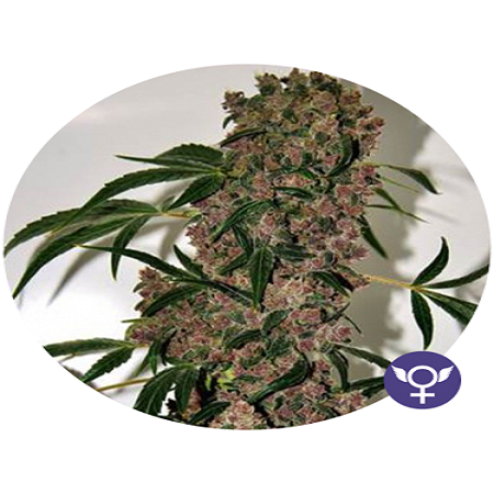 Girl Scout Cookies Extreme - Feminized - Bulldog Seeds