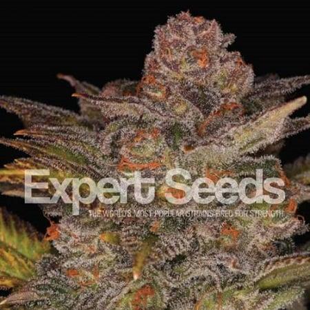 Blueberry Glue Auto – Feminized – Expert Seeds