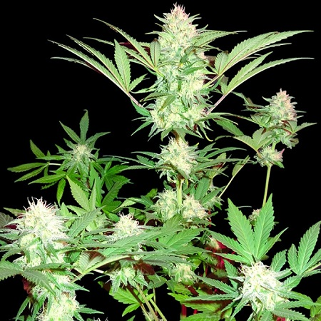 Sumo Seeds Goji Haze Feminized