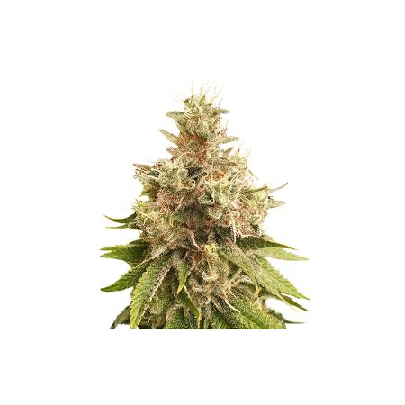 Golden Apple Haze - Regular - Super Sativa Seed Club