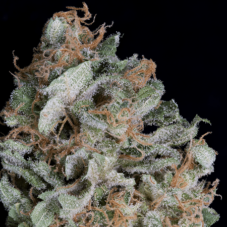 Big Head Seeds Gorilla Cookies Feminized