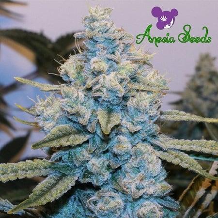 Original Gorilla #4 - Feminized - Anesia Seeds