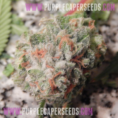 Purple Caper Seeds Grand Caper Regular