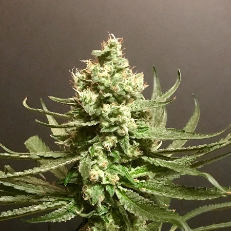 Pot Valley Seeds Grand Exodus Feminized