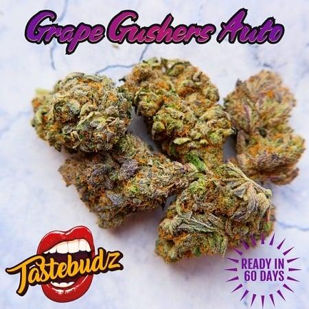 Grape Gushers Auto - Feminized - Tastebudz