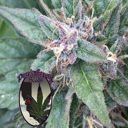 Grape OG - Regular - Purple Caper Seeds