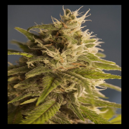 House of the Great Gardener Seeds GG#1 Feminised