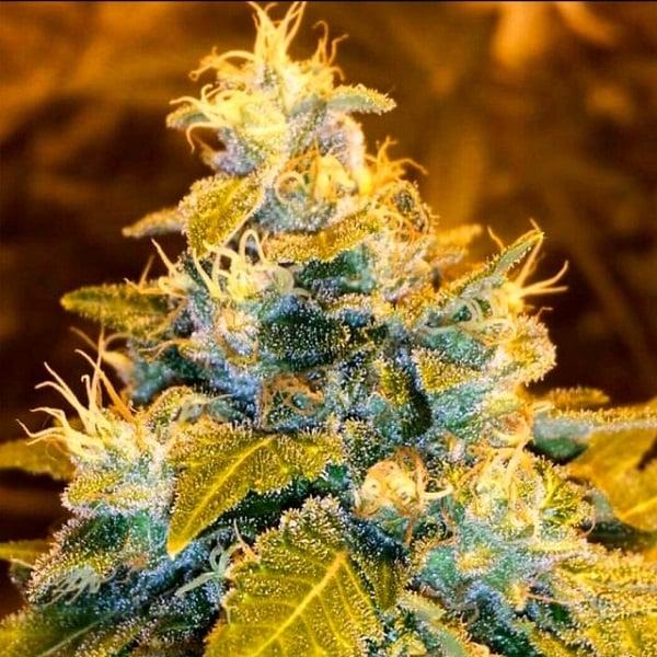 Holy Smoke Seeds Green Bling Feminized