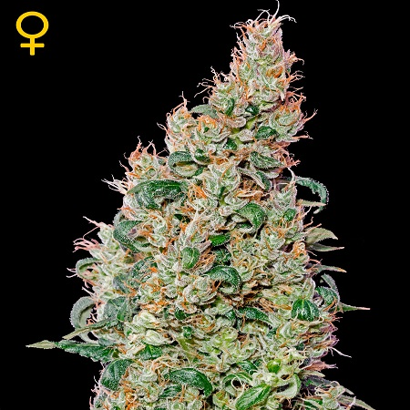 Green House Seeds Green-O-Matic Auto Feminised