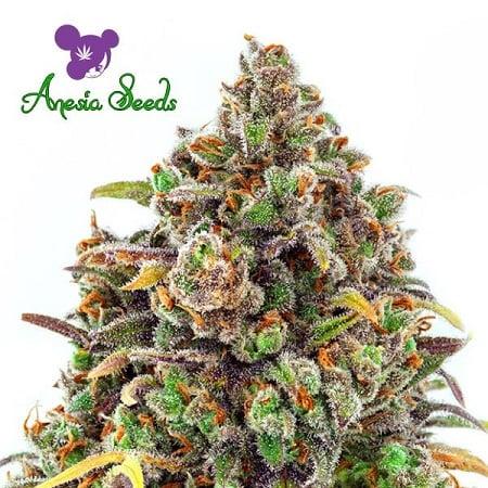 Haze Queen - Feminized - Anesia Seeds