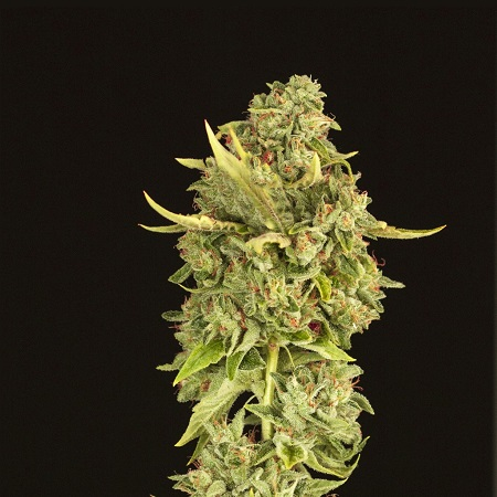 Devil's Harvest Seeds Hell's Bells Feminized