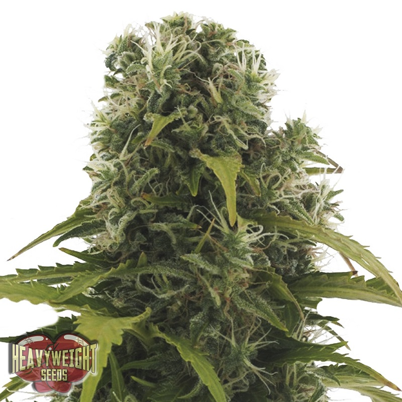 Heavyweight Seeds High Density Auto Feminized