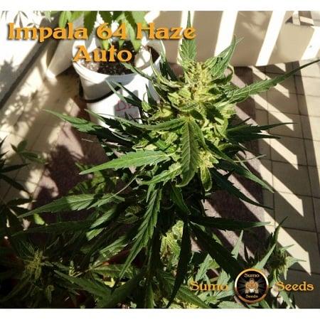 Sumo Seeds Auto Impala 64 Haze Feminized