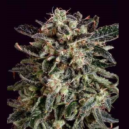 SuperCBDx Seeds Jack Flash x SCBDx Feminized