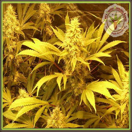 Dr Krippling Seeds Kali and the Chocolate Factory Feminized