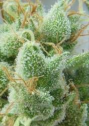 Kiwi Seeds - Mako Haze Feminised