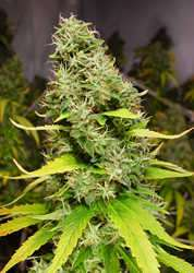 Kiwi Seeds - White Island Feminized