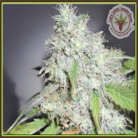 Dr Krippling Seeds Kali's White Shadow Feminized