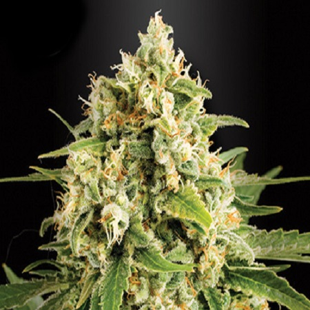 Kera Seeds Skunk Feminised (PICK N MIX)