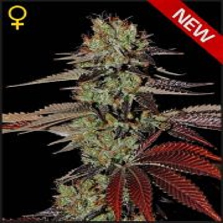 Green House Seeds Kings Kush Auto Feminized
