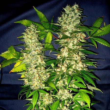 Holy Smoke Seeds Kong Feminized